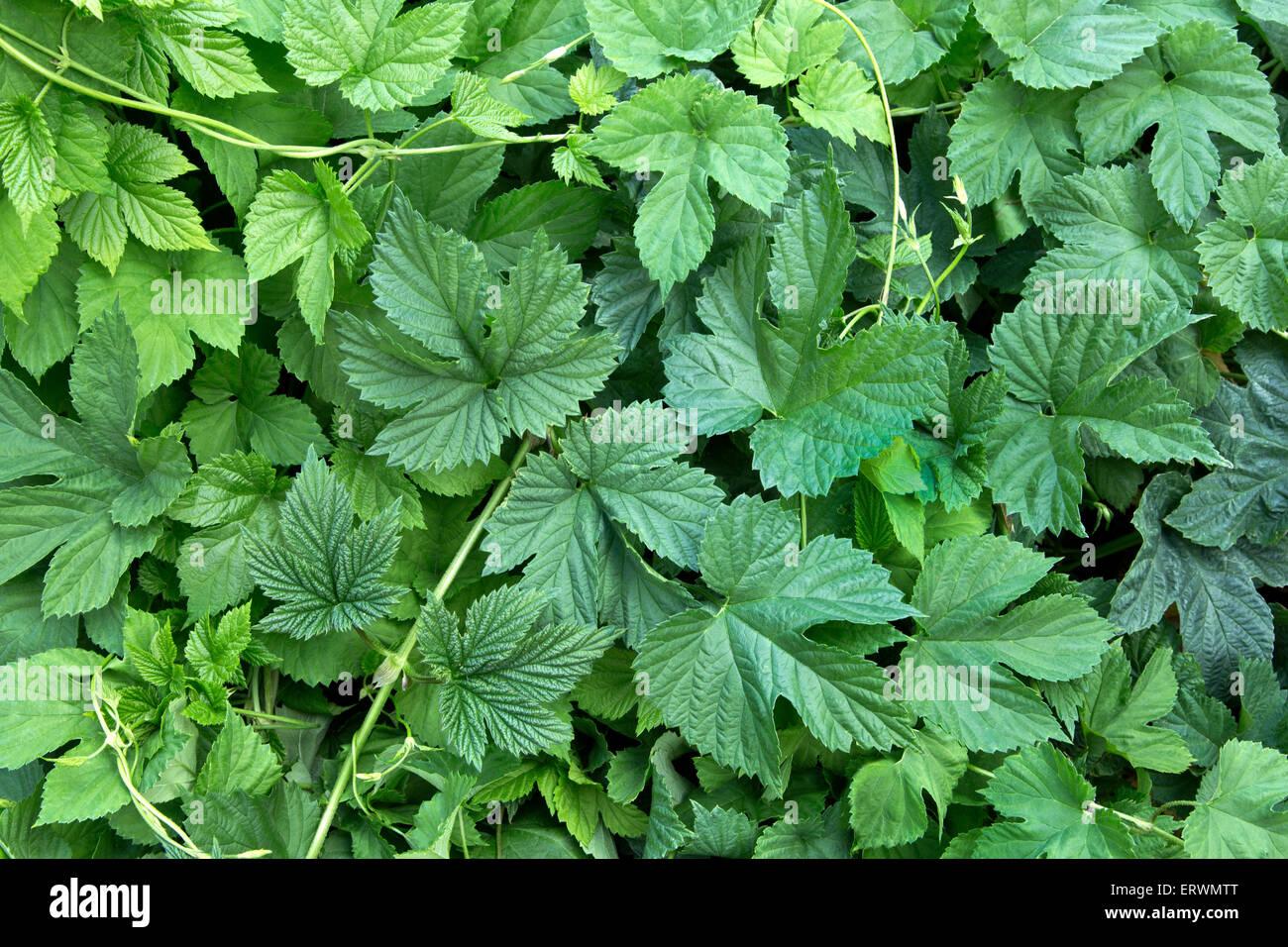 Hop vine, nuove foglie 'Humulus lupulus'. Immagini Stock