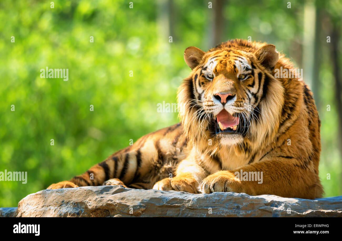 Tigre del Bengala in foresta Immagini Stock
