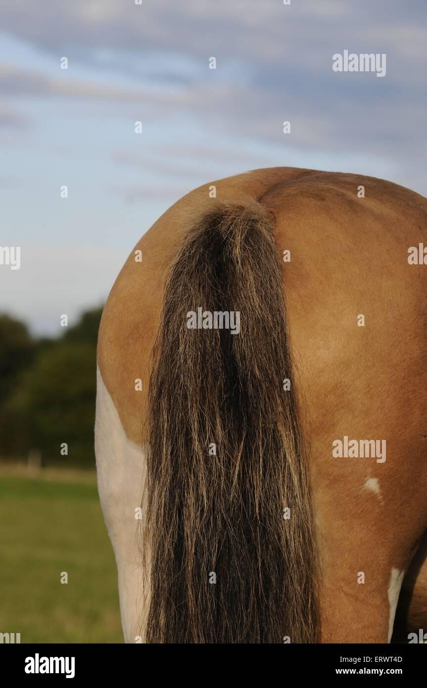 groppa di pony Immagini Stock