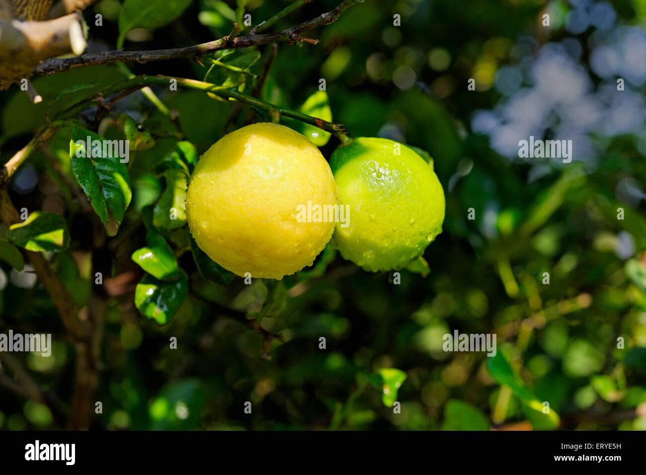 Lime salsa di vitamina C ; succo e scorza codolo ; India Immagini Stock