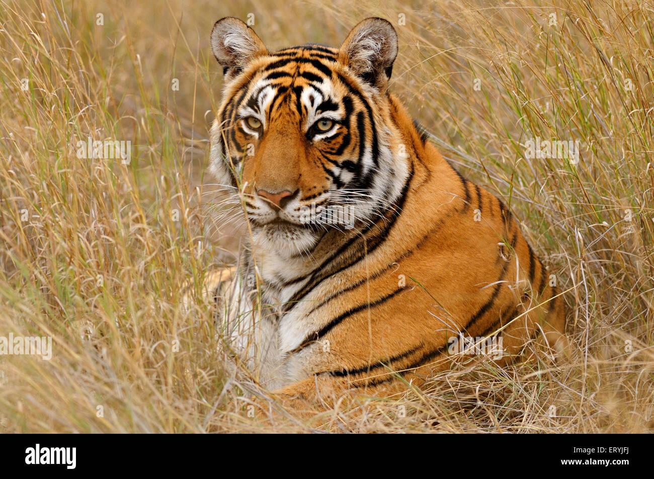 Tiger panthera tigris tigris in seduta erbe secche ; Parco nazionale di Ranthambore ; Rajasthan ; India Immagini Stock