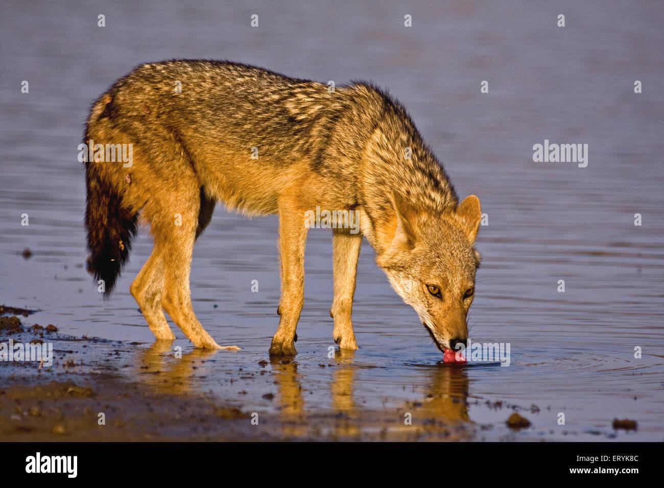 Golden jackal canis aureus acqua potabile ; Parco nazionale di Ranthambore ; Rajasthan ; India Foto Stock
