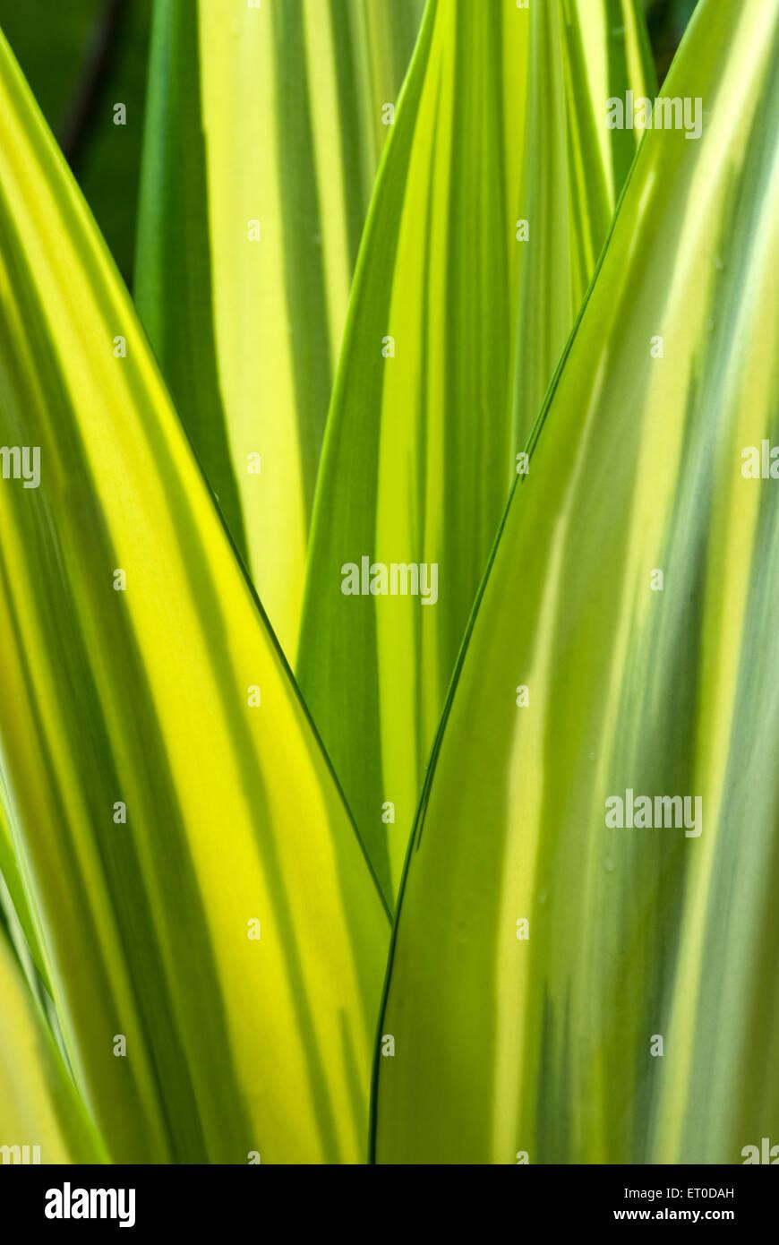 Foglie di agave frondose piante succulente ; Coimbatore ; Tamil Nadu ; India Immagini Stock