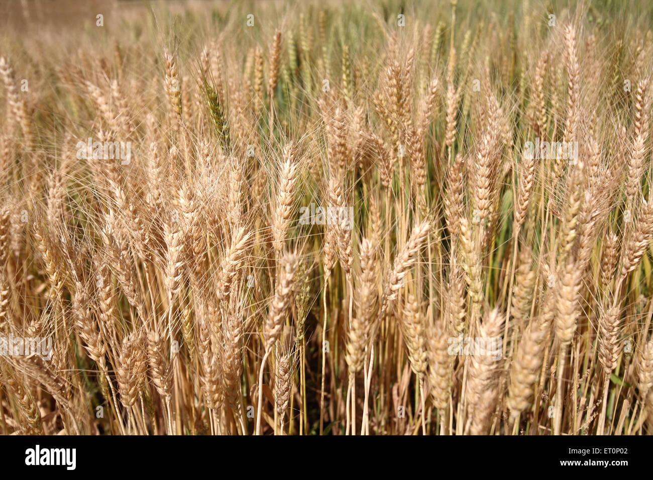 Campo di grano ; Rajasthan ; India Immagini Stock