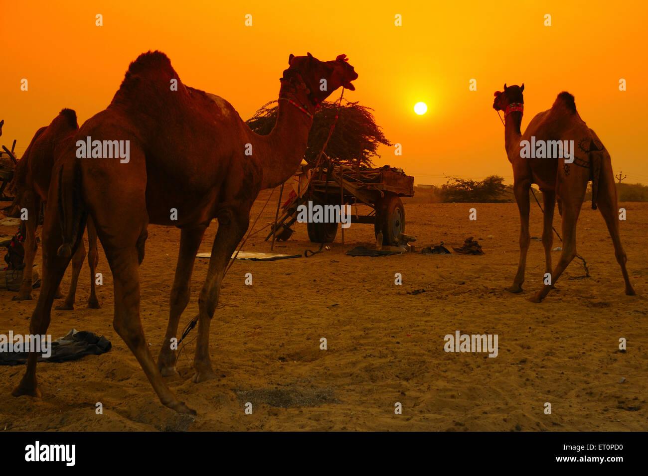 Cammelli al tramonto in Pushkar fair ; Rajasthan ; India Foto Stock