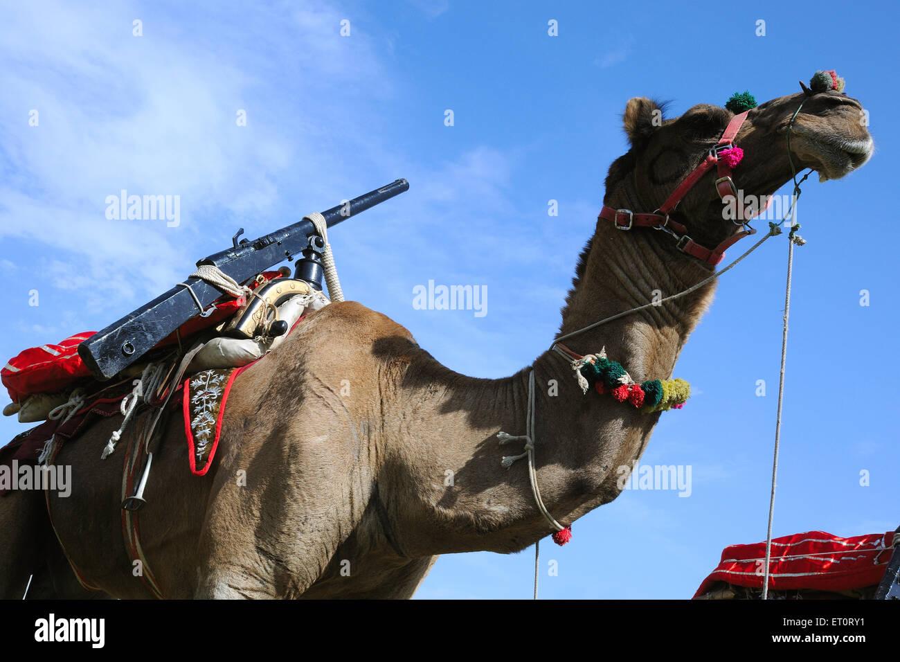 Camel che trasportano armi ; Rajasthan ; India Immagini Stock