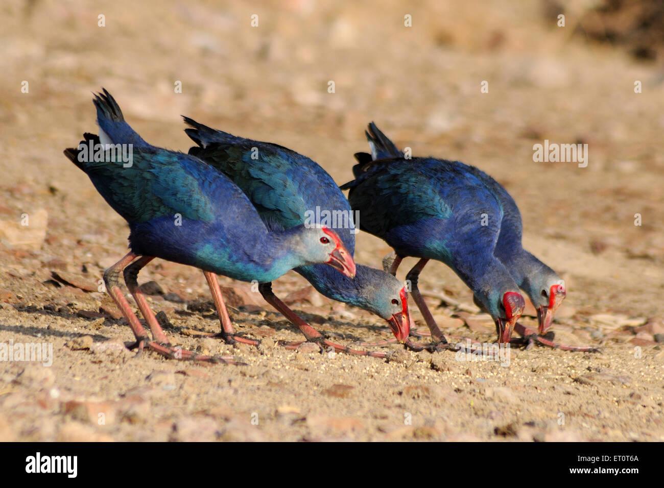 Gli uccelli ; viola moorhen Porphyrio porphyrio a Jodhpur ; Rajasthan ; India Immagini Stock