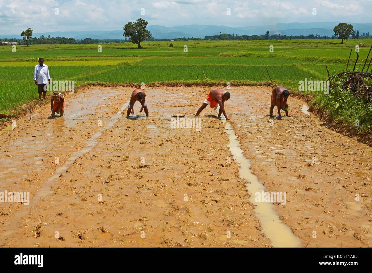 A sperimentare con la nuova tecnica di riso piantagione iniziativa avviata da ONG Organizzazione Chinmaya delle Immagini Stock