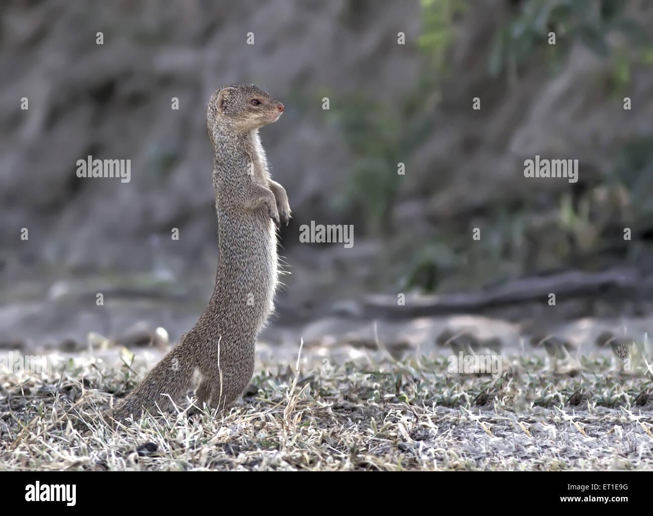 La mangusta in Rajasthan in India Immagini Stock