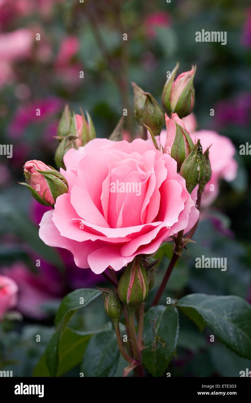 Rosa sei bellissima 'Fryracy'.rosa rosa in un giardino inglese. Immagini Stock