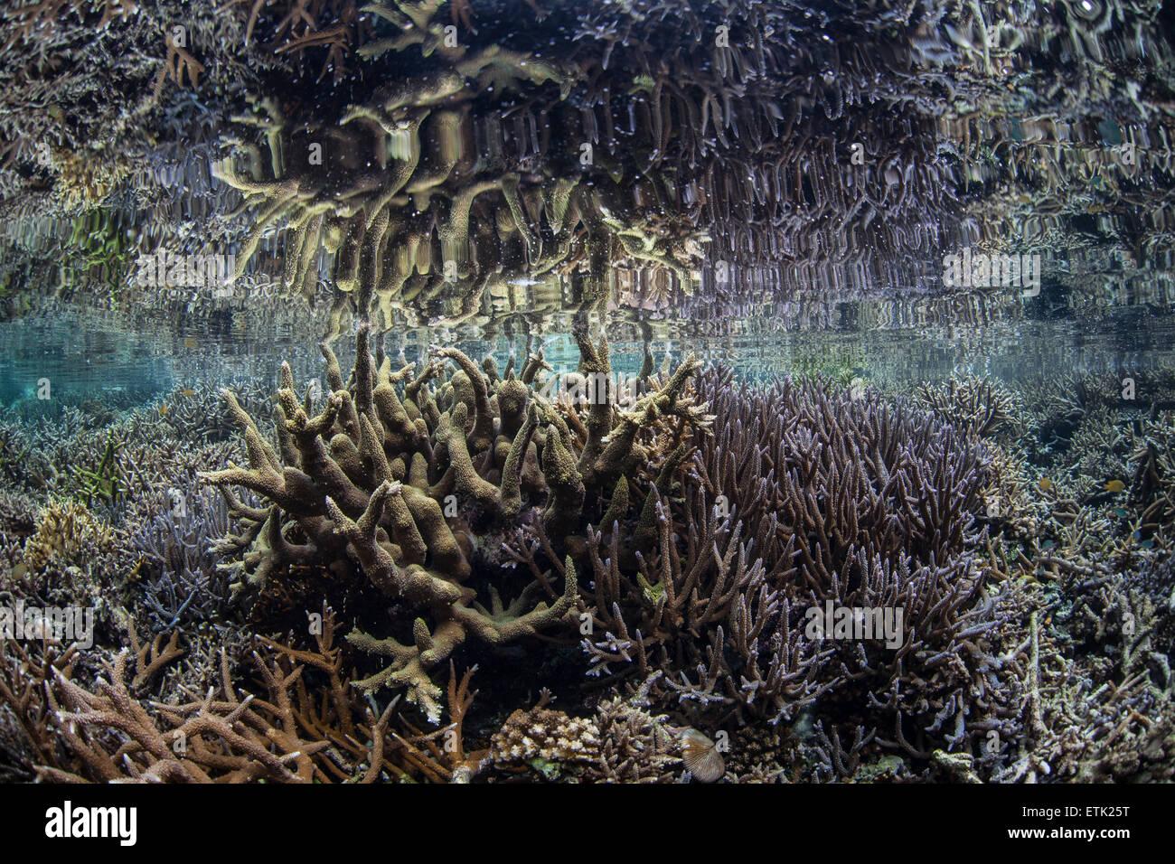 Coralli fragili crescere appena al di sotto della linea di galleggiamento in Raja Ampat, Indonesia. Questa remota Immagini Stock