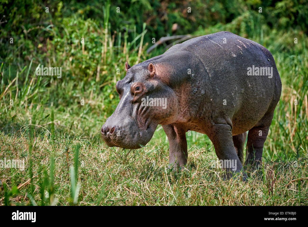 Ippopotamo, Hippopotamus amphibius, Canale Kazinga, Queen Elizabeth National Park, Uganda, Africa Immagini Stock