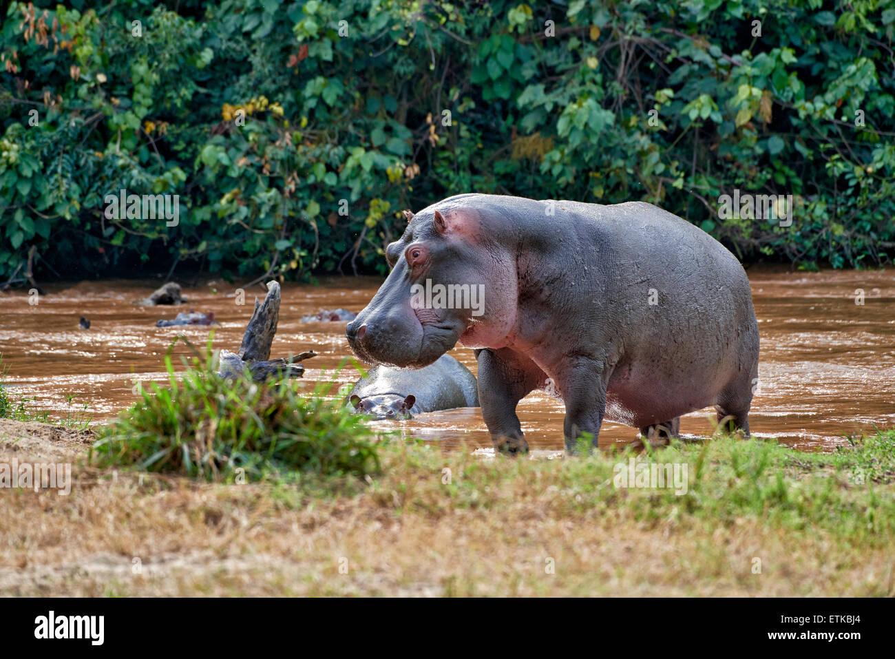 Ippopotamo, Hippopotamus amphibius, settore Ishasha, Queen Elizabeth National Park, Uganda, Africa Immagini Stock
