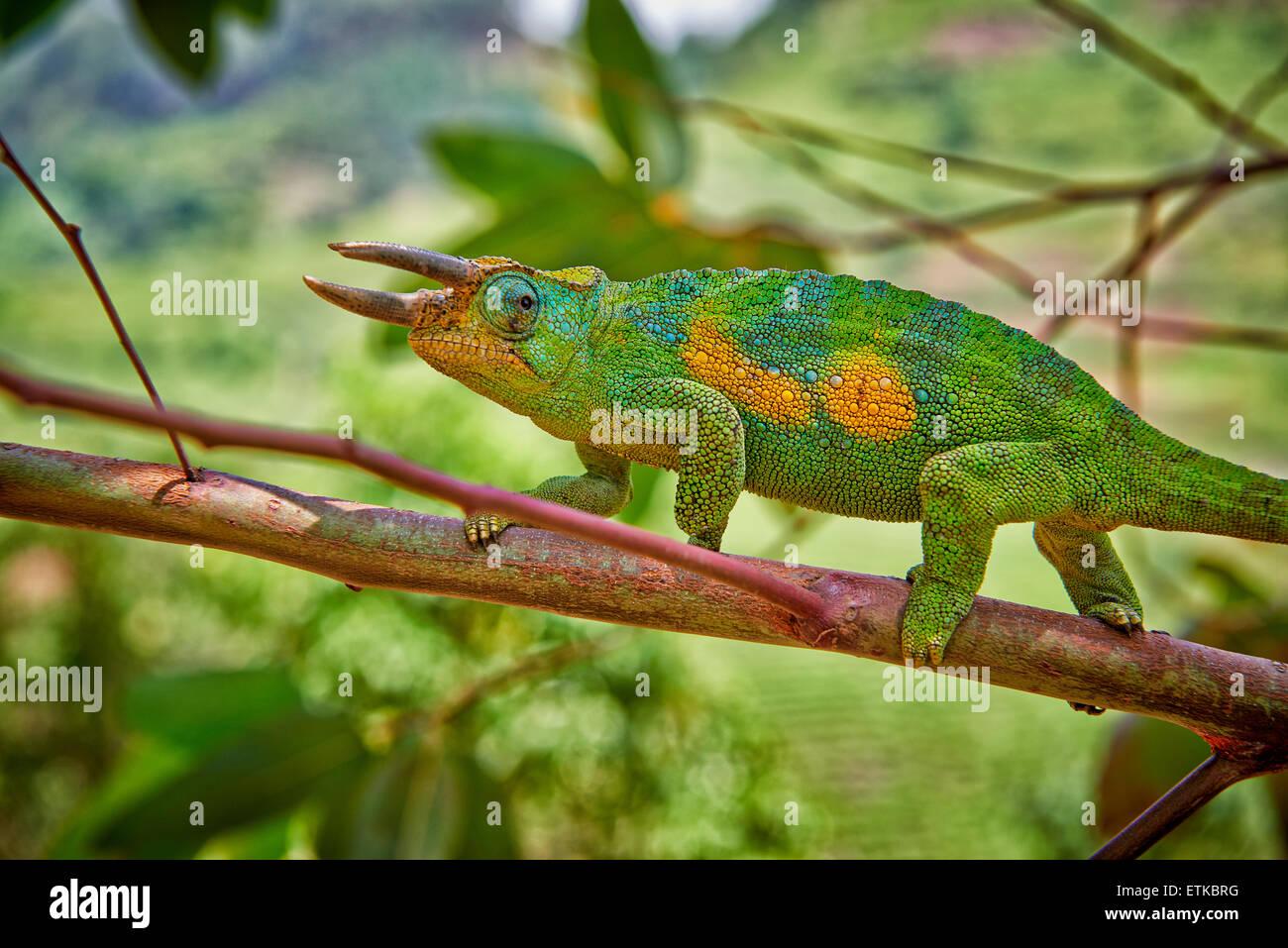 Jackson di tre-cornuto camaleonte, Trioceros jacksonii, Parco nazionale impenetrabile di Bwindi, Uganda, Africa Immagini Stock