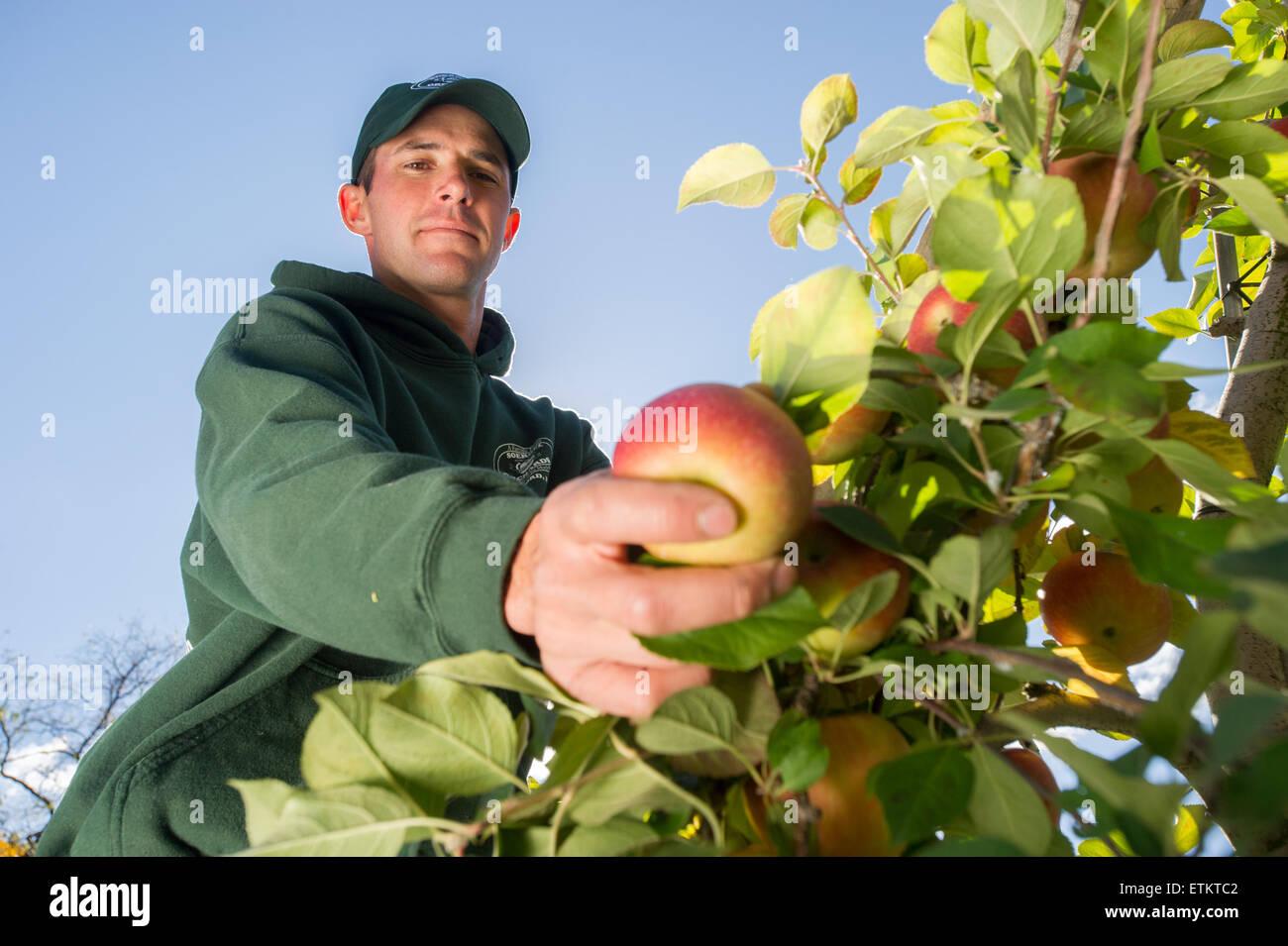 Agricoltore controllare le mele in un Apple orchard a Wexford, Pennsylvania, STATI UNITI D'AMERICA Immagini Stock