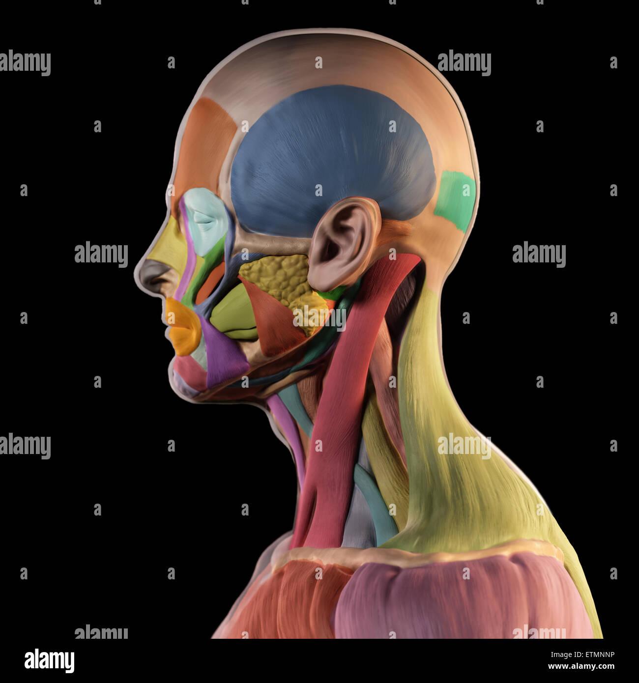 Immagine stilizzata di muscoli del viso nello stile di un - Immagine di terra a colori ...