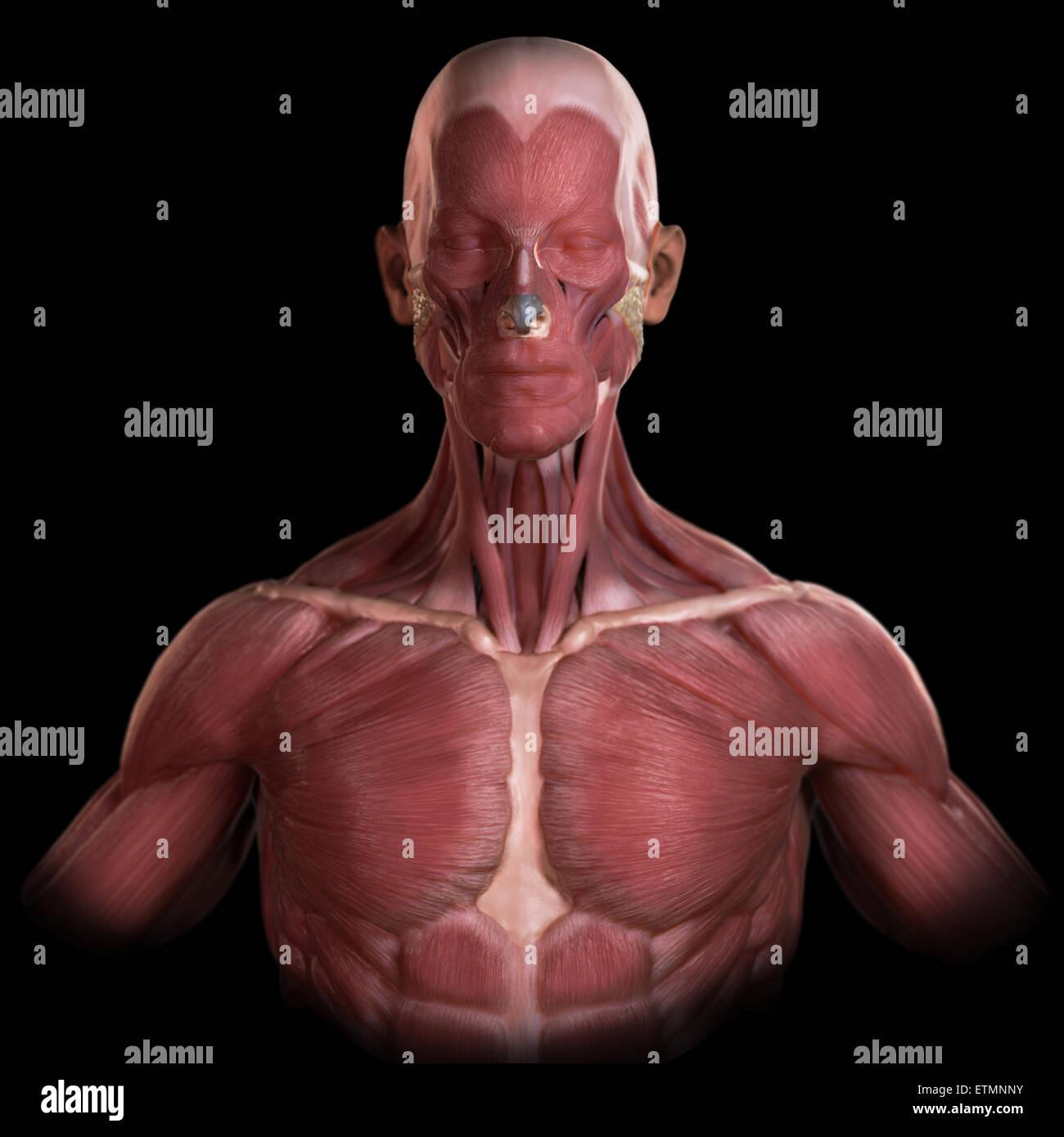 Immagine concettuale dei muscoli del viso e corpo superiore. Immagini Stock