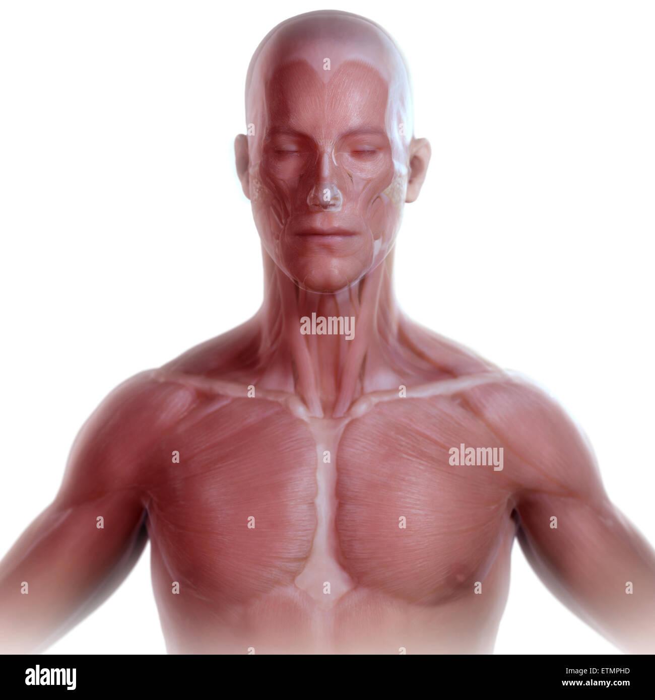 Immagine concettuale del viso e del corpo superiore con la muscolatura visibile sotto la pelle. Immagini Stock