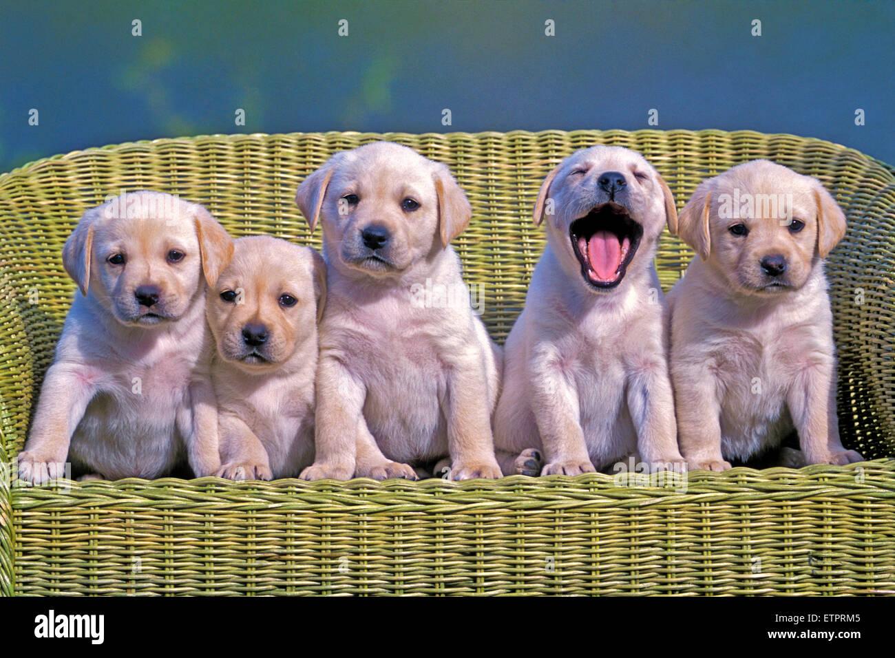 Cinque Labrador Retriever cuccioli, otto settimane di età in posa nella sedia di vimini Immagini Stock