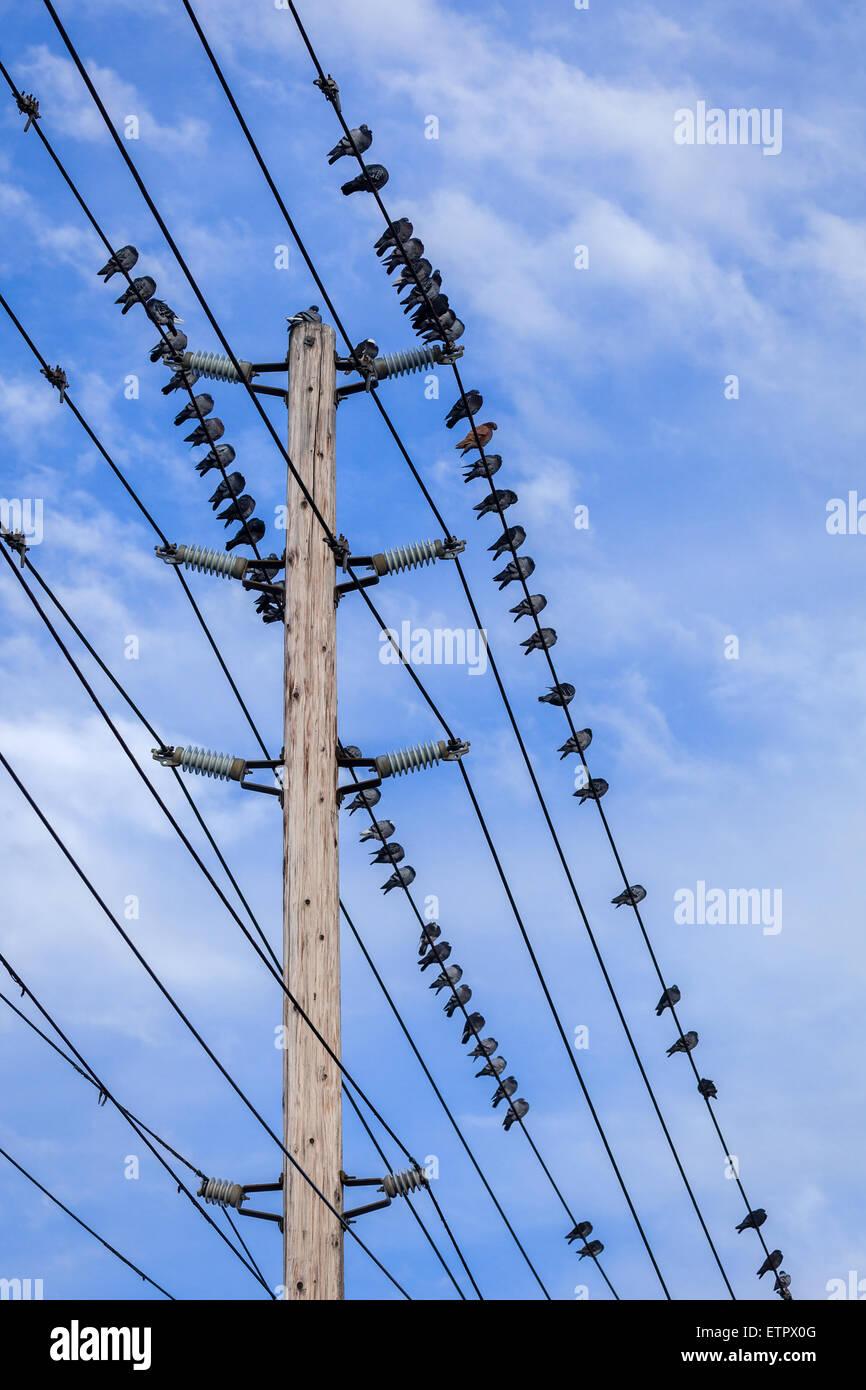 Gli uccelli sulle linee di alimentazione con un cielo blu sullo sfondo. Immagini Stock