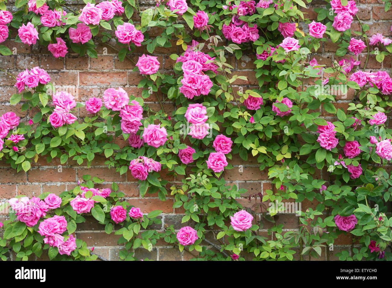 Rose Rampicanti Senza Spine rosa zephirine drouhin. rose senza spine arrampicarsi su una