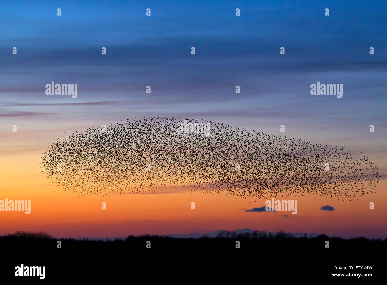 Unione starling murmuration / grande gregge di comune storni (sturnus vulgaris) in volo al tramonto Immagini Stock