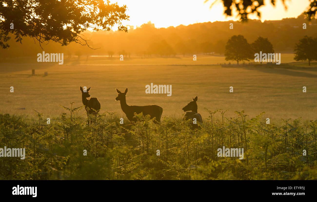 Tre cervi nel sole del mattino, Richmond Park. Immagini Stock