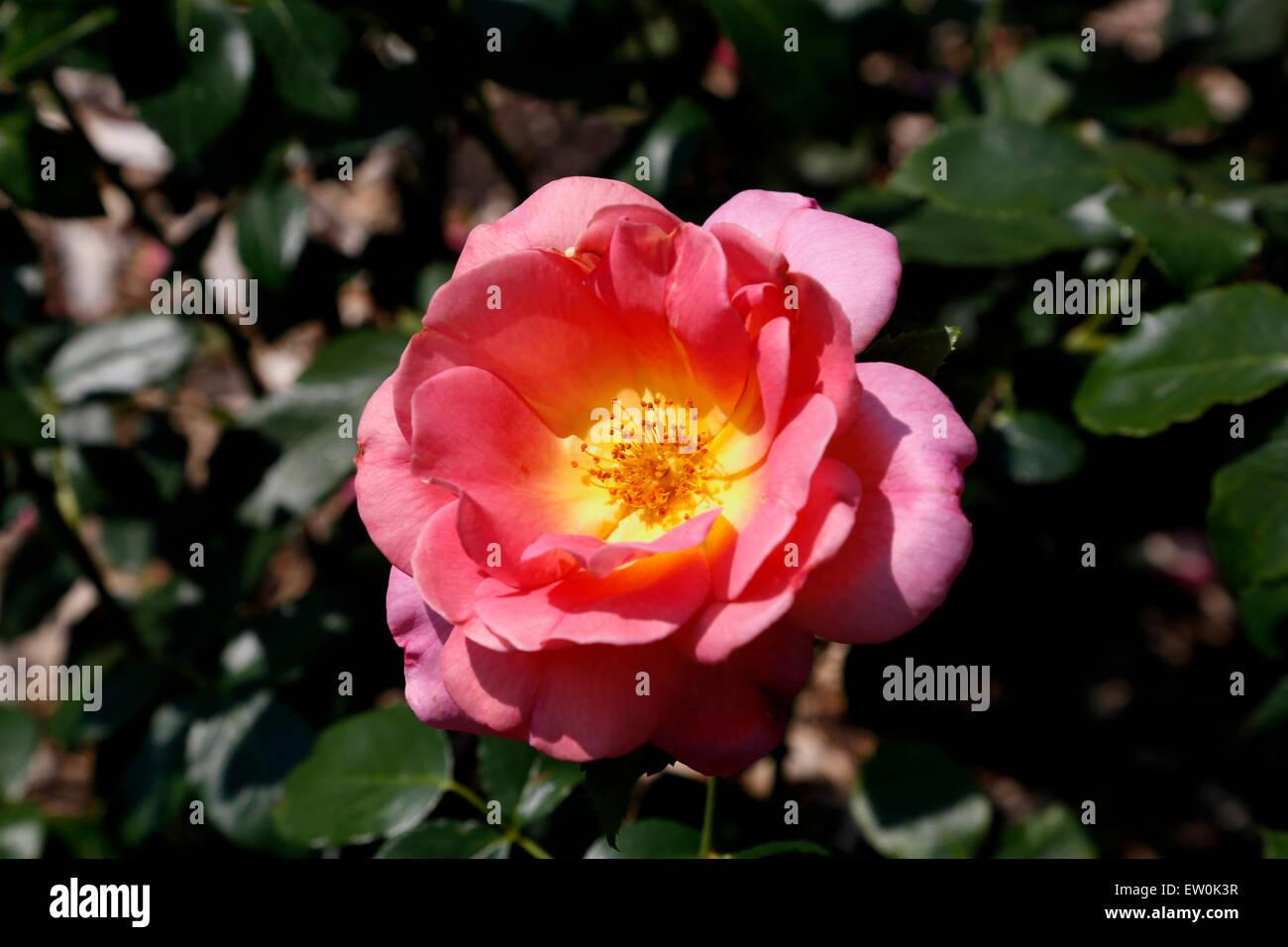 Il Lafter è un ibrido di Rosa Tea che è impolverato di colore rosa ...