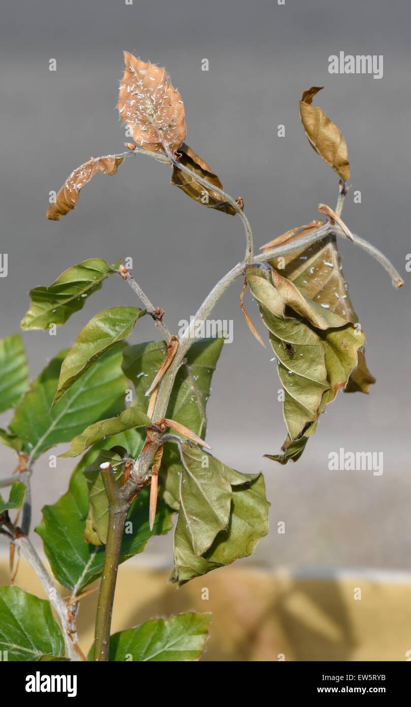Lanosi afide del faggio, Phyllaphis fagi, danni per i germogli di una giovane siepe di faggio, Fagus sylvatica, Immagini Stock