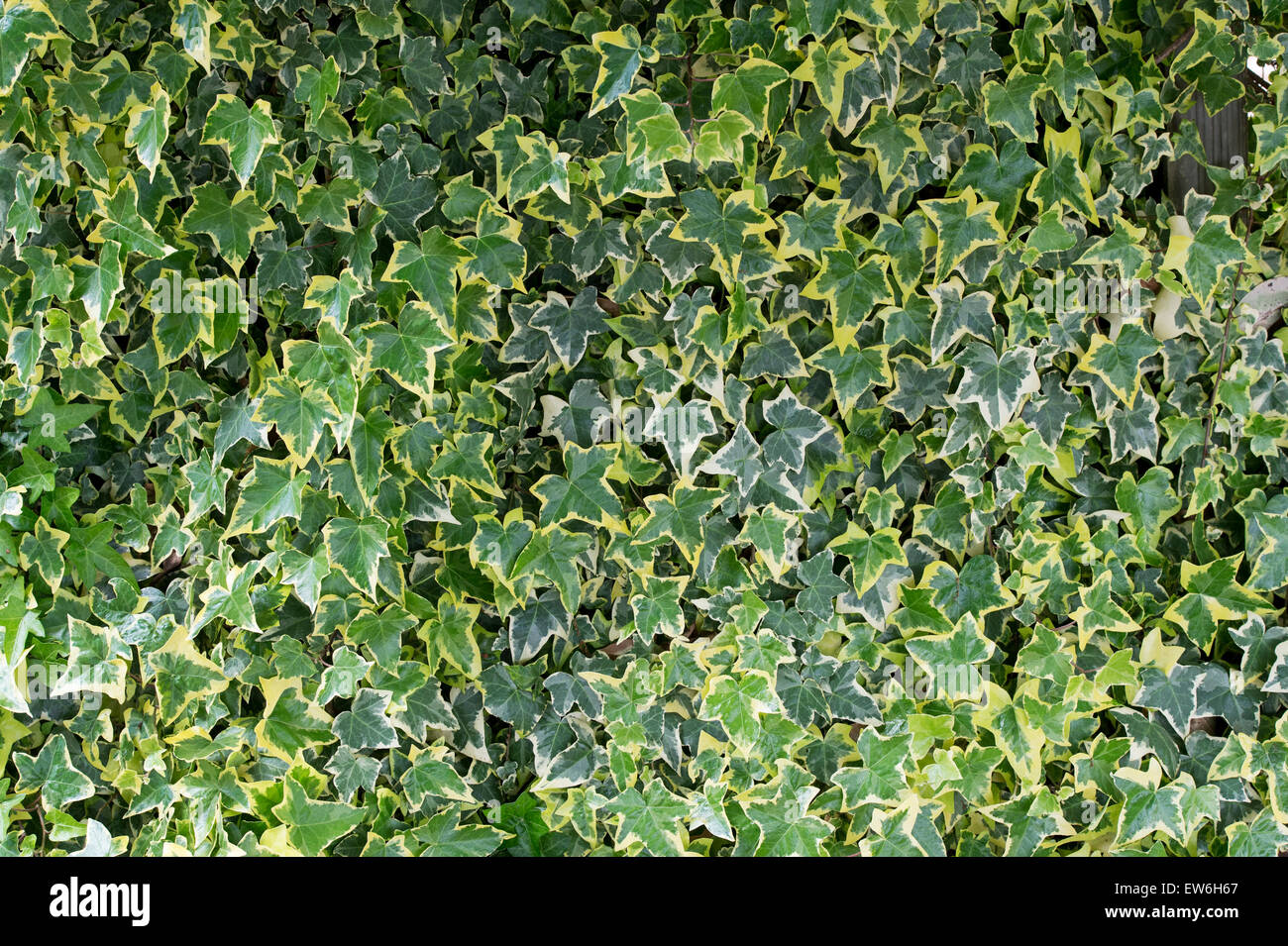Ivy hedera helix ivy variegated immagini ivy hedera for Siepe artificiale ikea