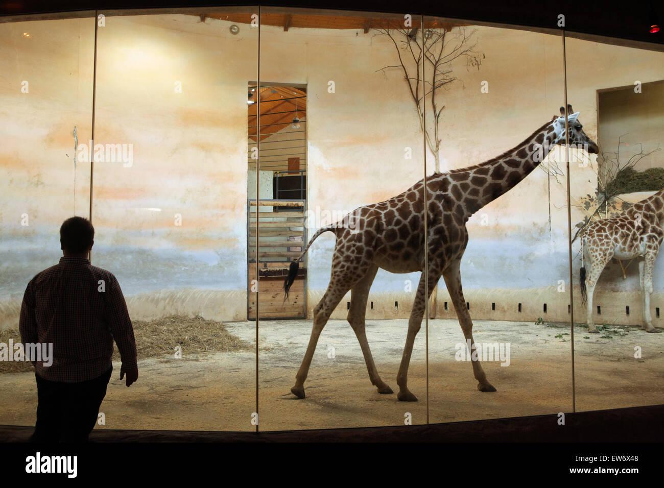 Visitatore guarda la Rothschild la giraffa (Giraffa camelopardalis rothschildi) presso lo Zoo di Praga, Repubblica Immagini Stock