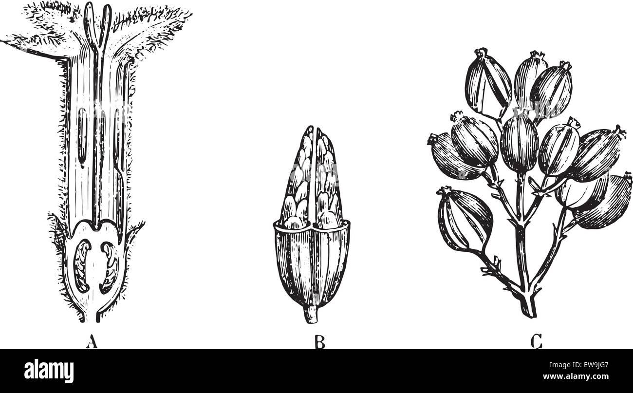 China calisaya, vintage illustrazioni incise. Al solito Dizionario medicina dal dr. Labarthe - 1885. Immagini Stock