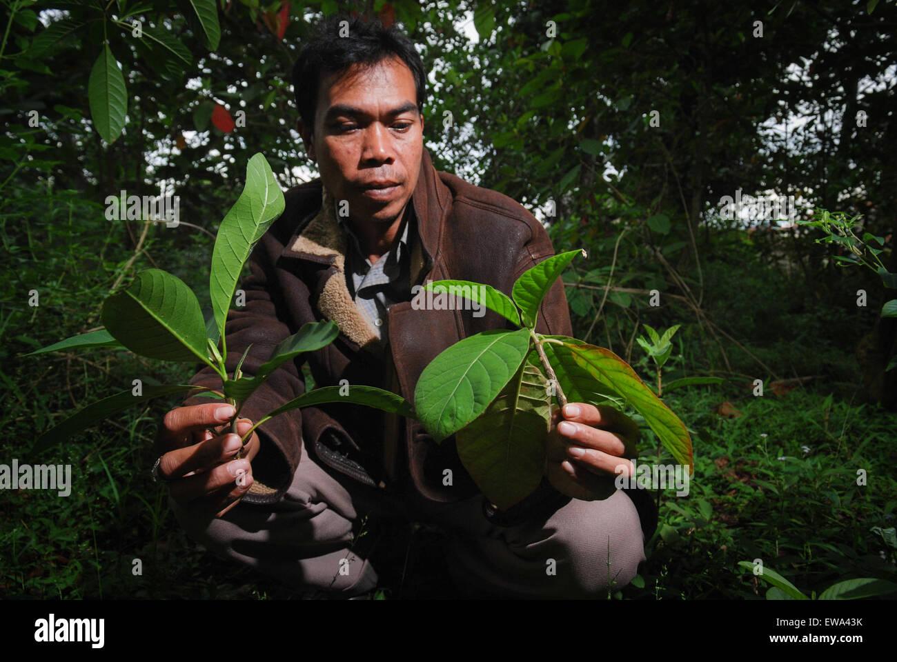L uomo è che mostra la varietà di chinina (China) lascia a Lembang, nel nord di Bandung, Indonesia. Immagini Stock