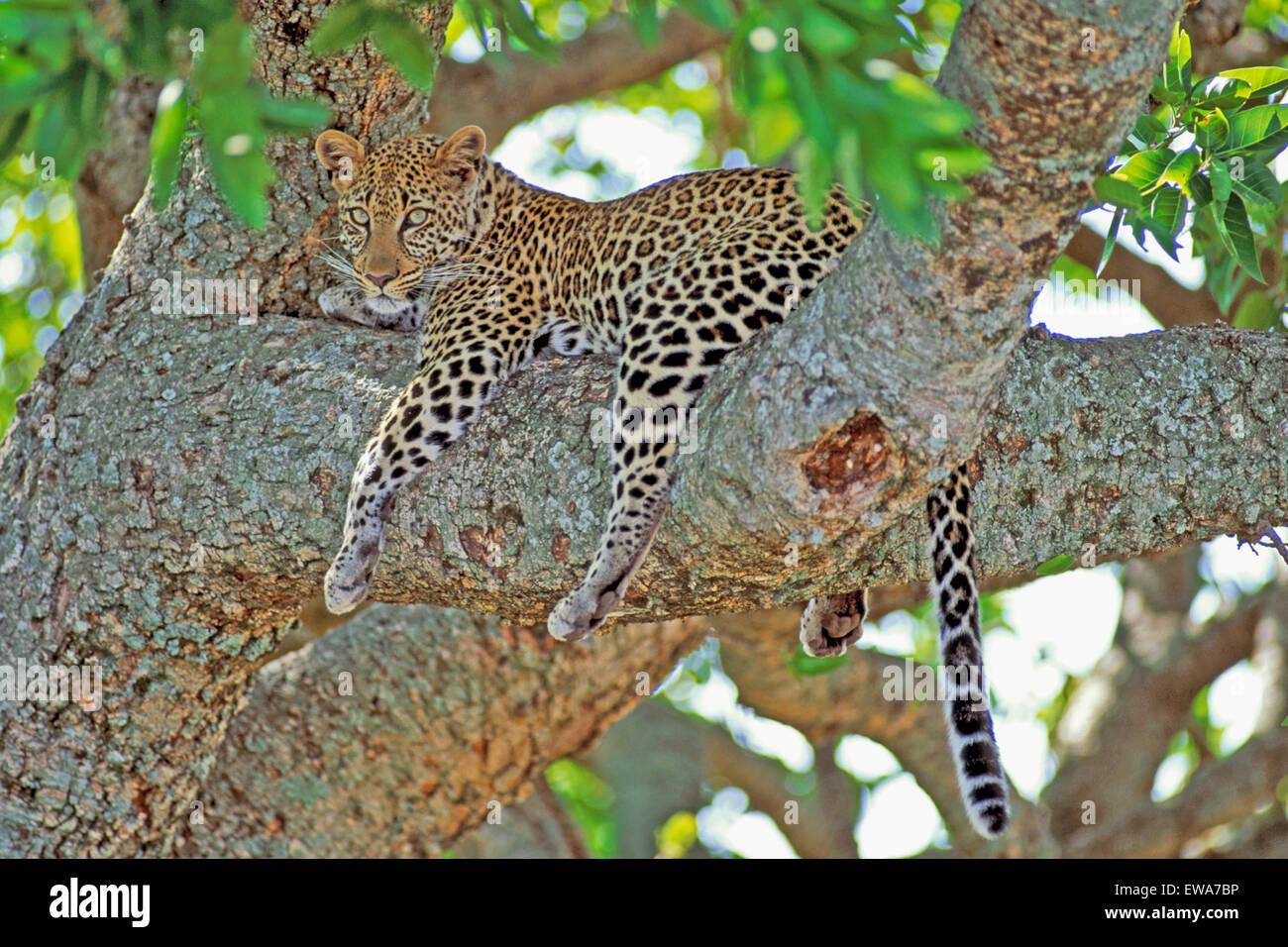 Leopard Africana appoggiata nella struttura ad albero,Masai Mara,Africa Foto Stock