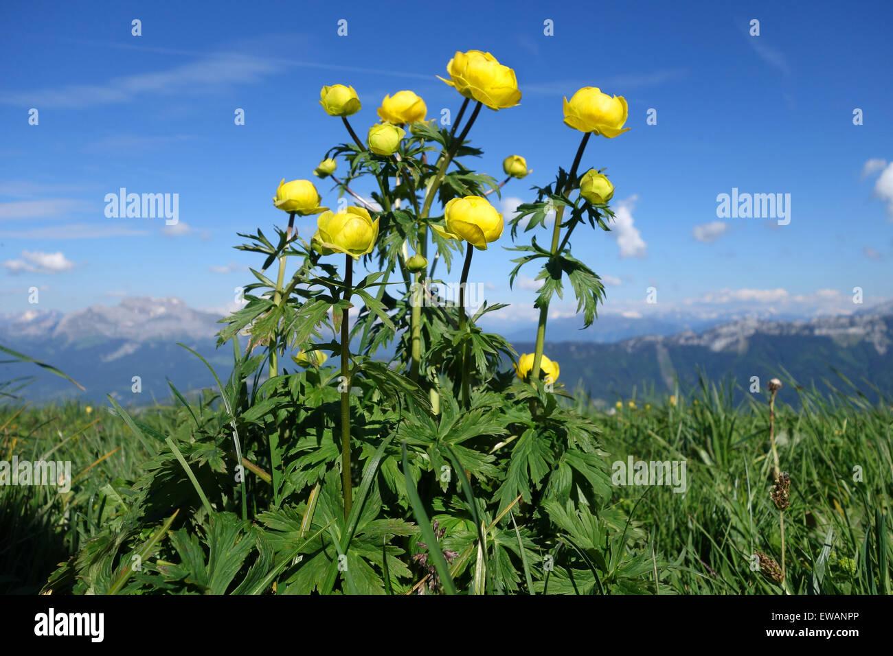 Mondo di fiori alpini dÕEurope Trolle Ð Trollius europaeus fleurs de montagne fiori Immagini Stock