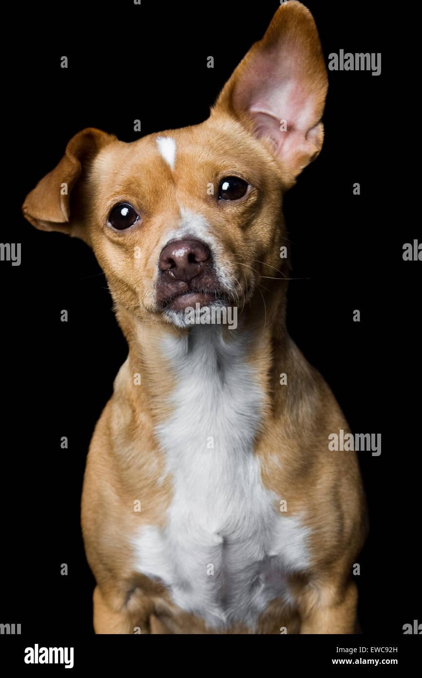 Accattivante ritratto in studio di adulti di colore giallognolo tan Chihuahua mix cane su sfondo nero con petto Immagini Stock