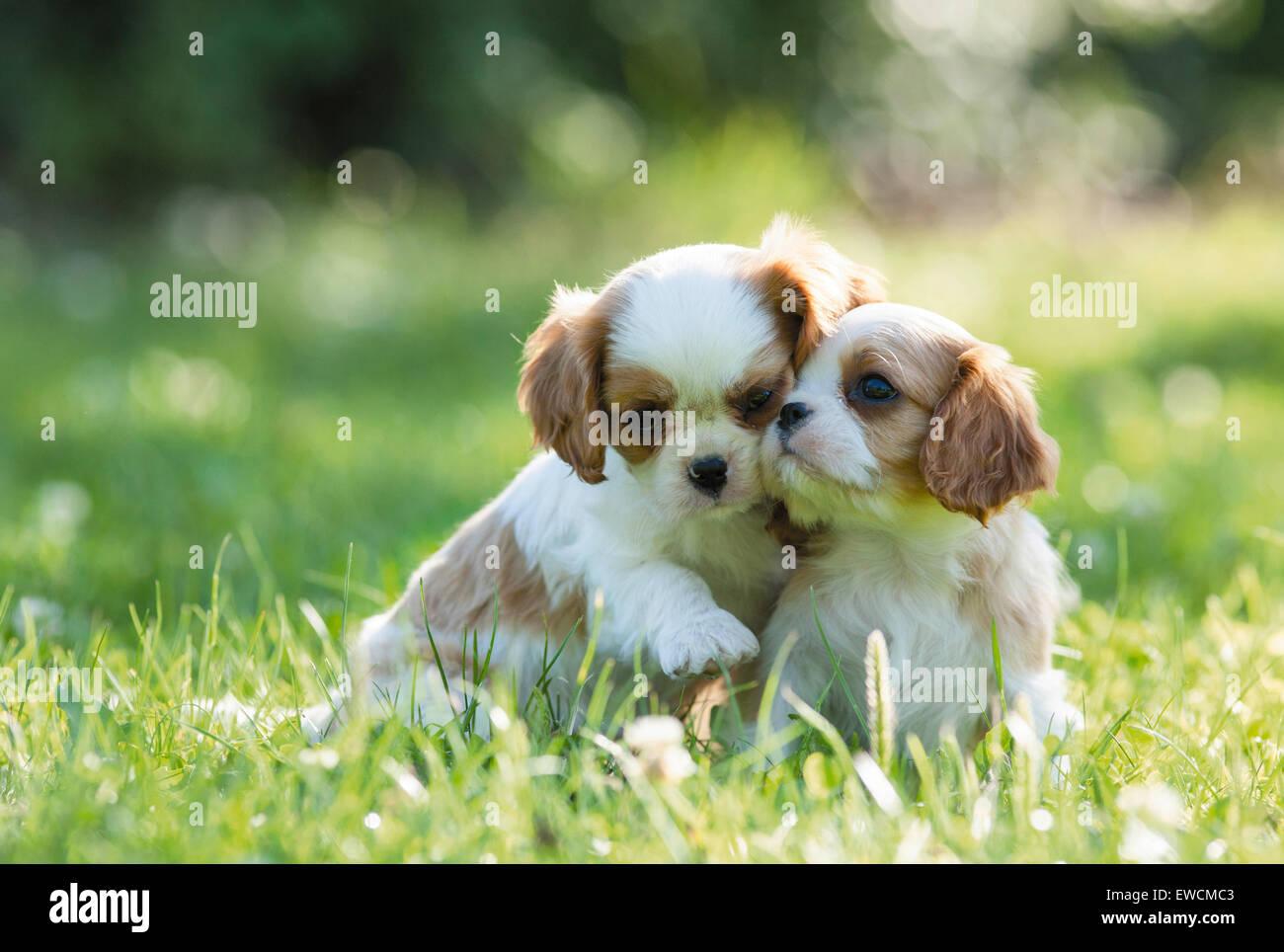 Cavalier King Charles Spaniel.due cuccioli seduti su un prato. Germania Immagini Stock