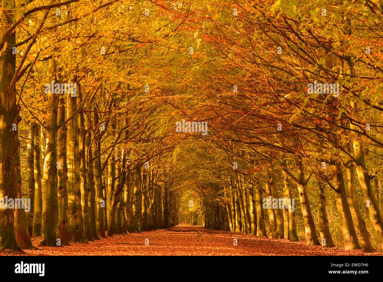 Lane attraverso i faggi in una foresta in autunno colori - Immagine di terra a colori ...