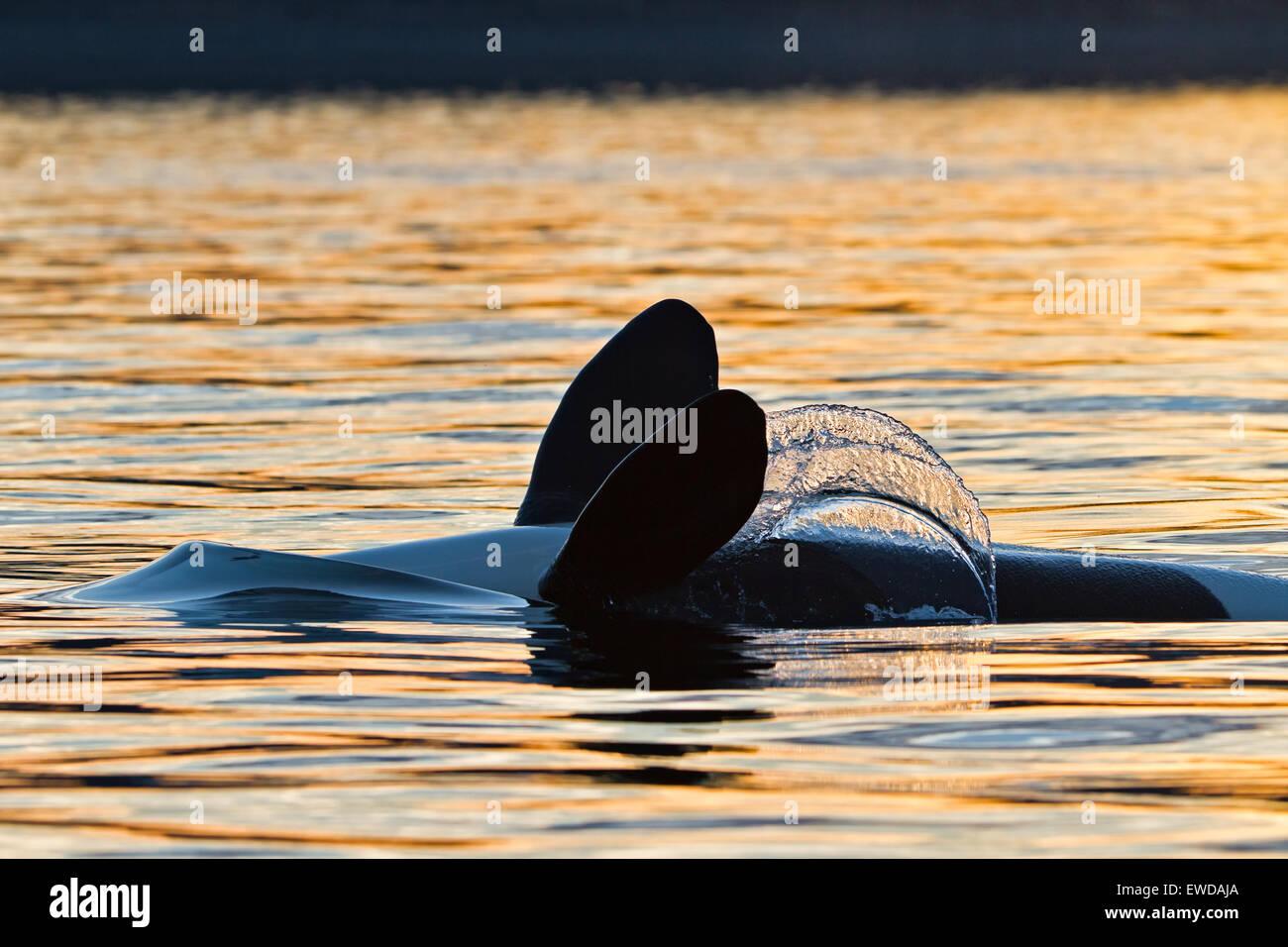 Transitori balene killer (orca, Orcinus orca, T30's & T137's) dopo l uccisione di un leone di mare off Immagini Stock