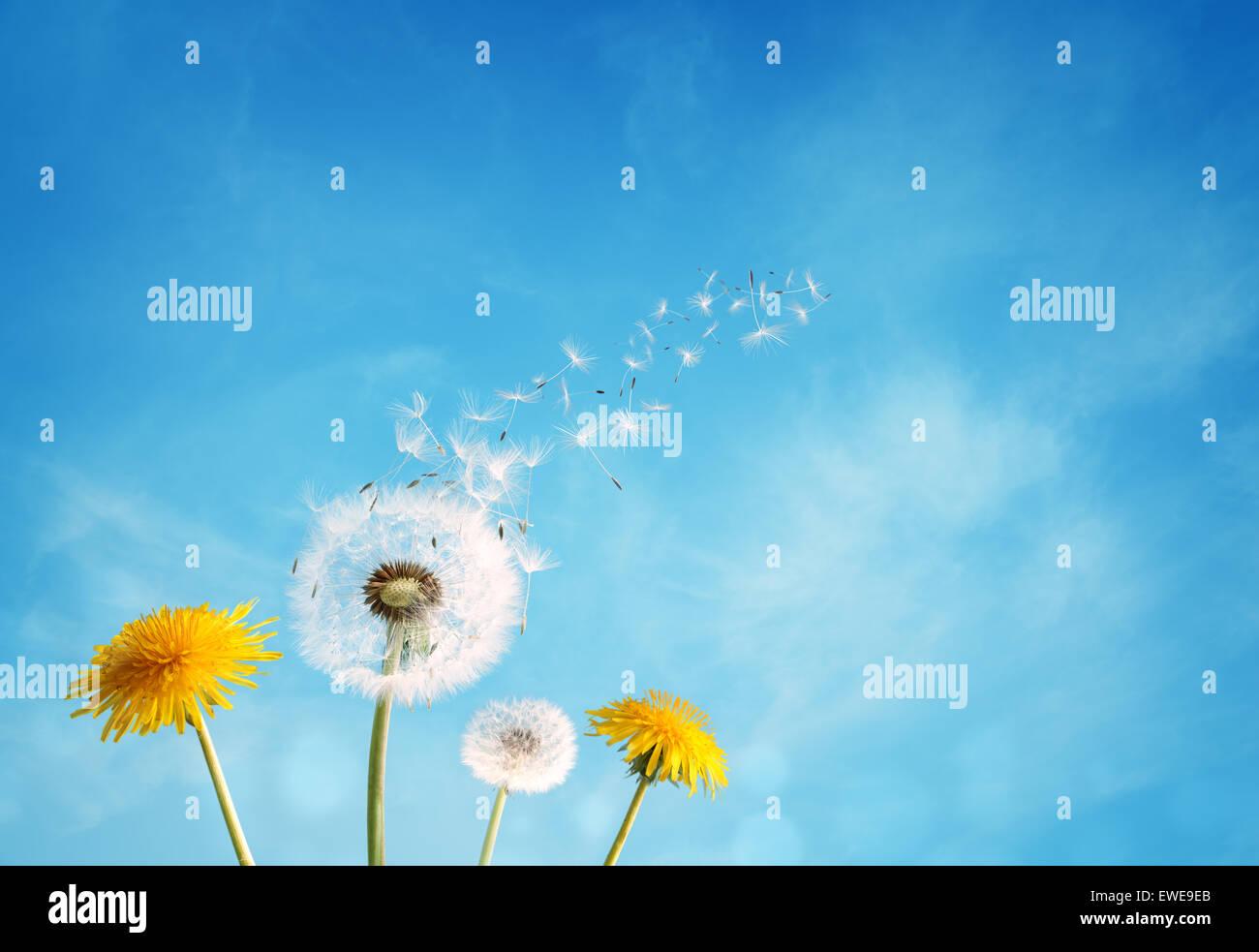 Tarassaco orologio sementi di dispersione Immagini Stock
