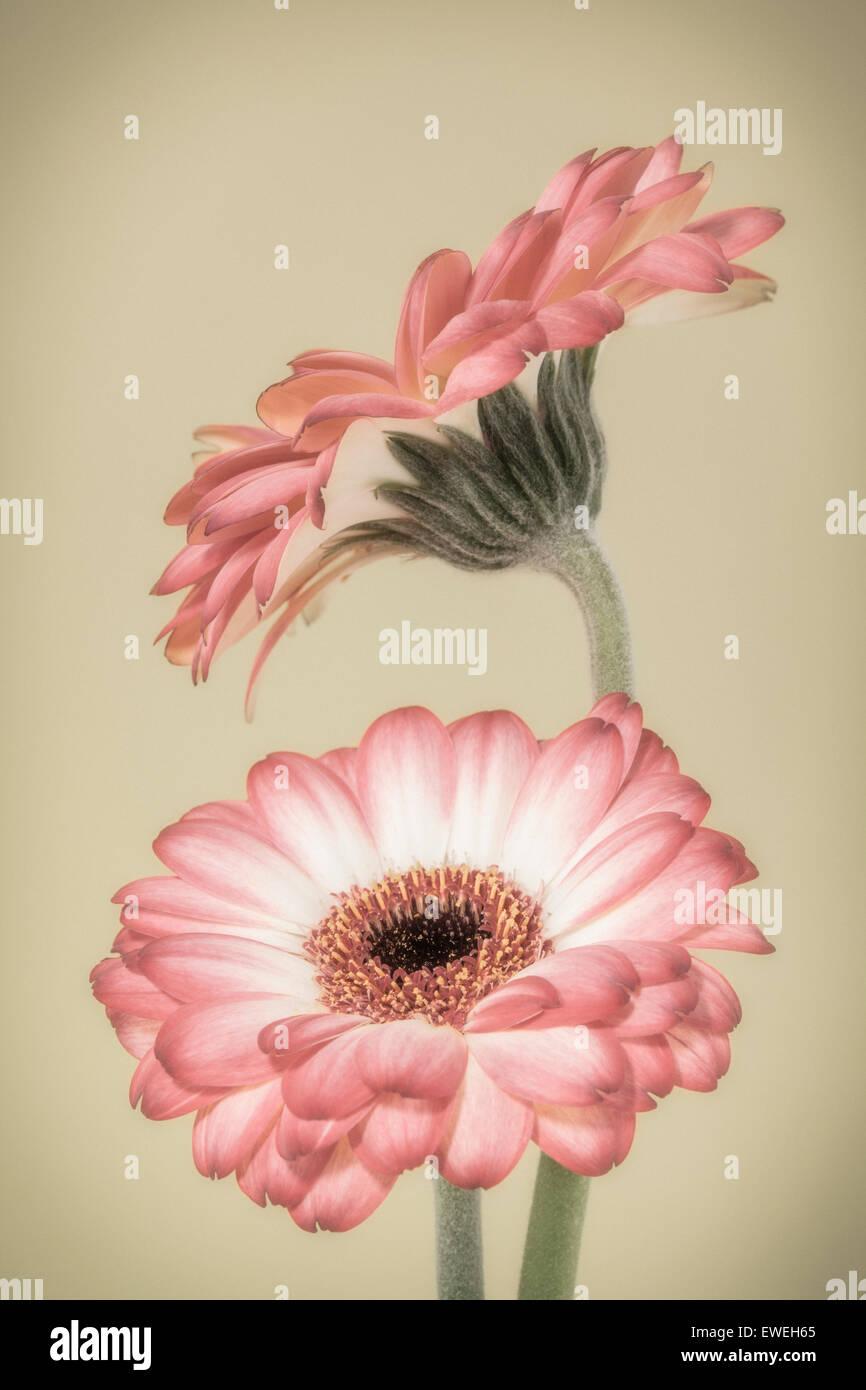 Due rosa e bianco gerbere Immagini Stock