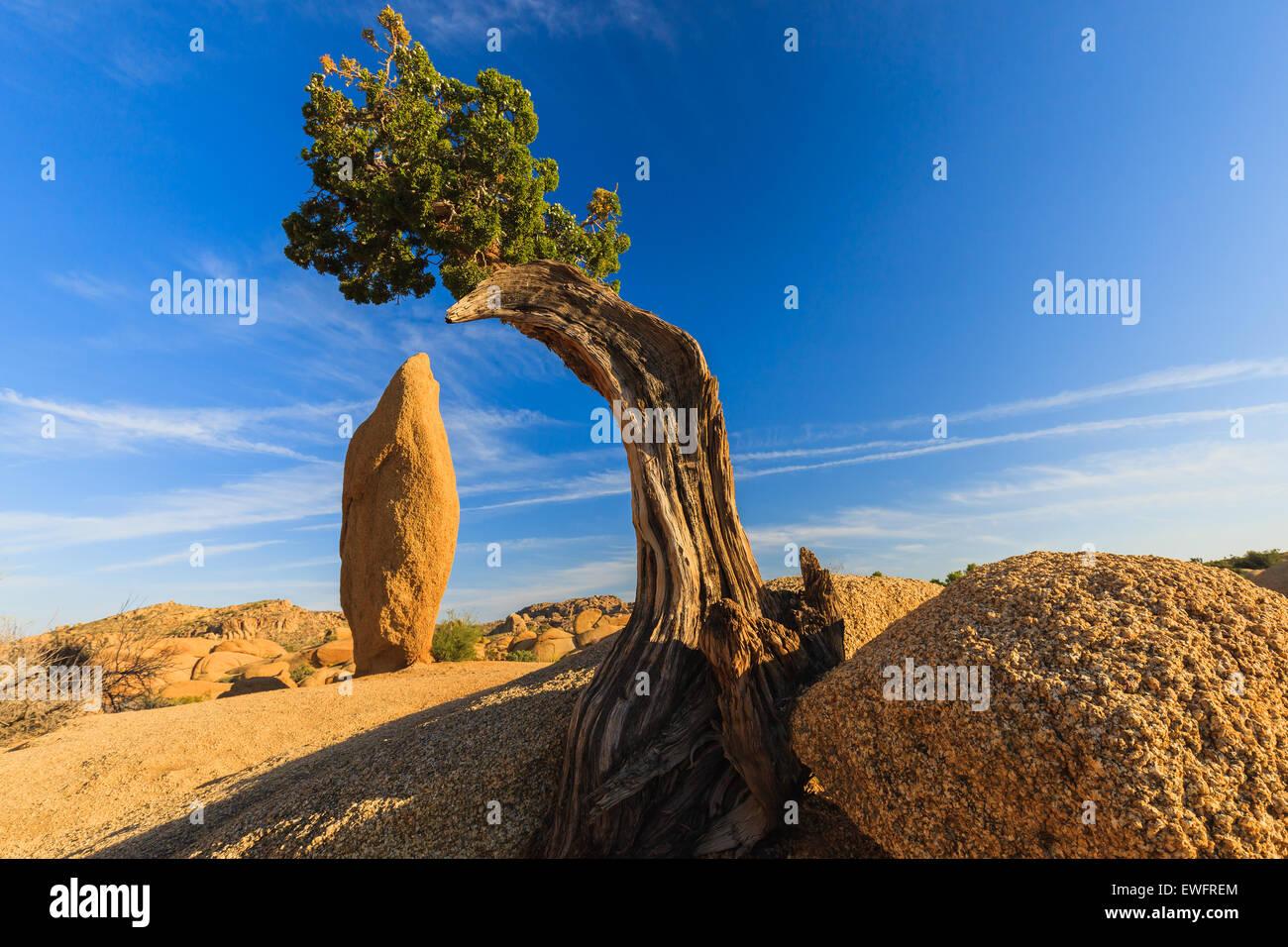 Albero di ginepro e roccia conica al Jumbo rocce a Joshua Tree National Park California USA. Immagini Stock