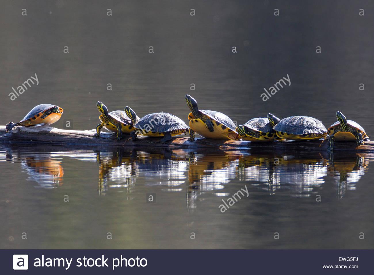 Sette a becco giallo cursori crogiolarsi su un log in flottante Martin lago, situato nella Carolina Sandhills National Immagini Stock