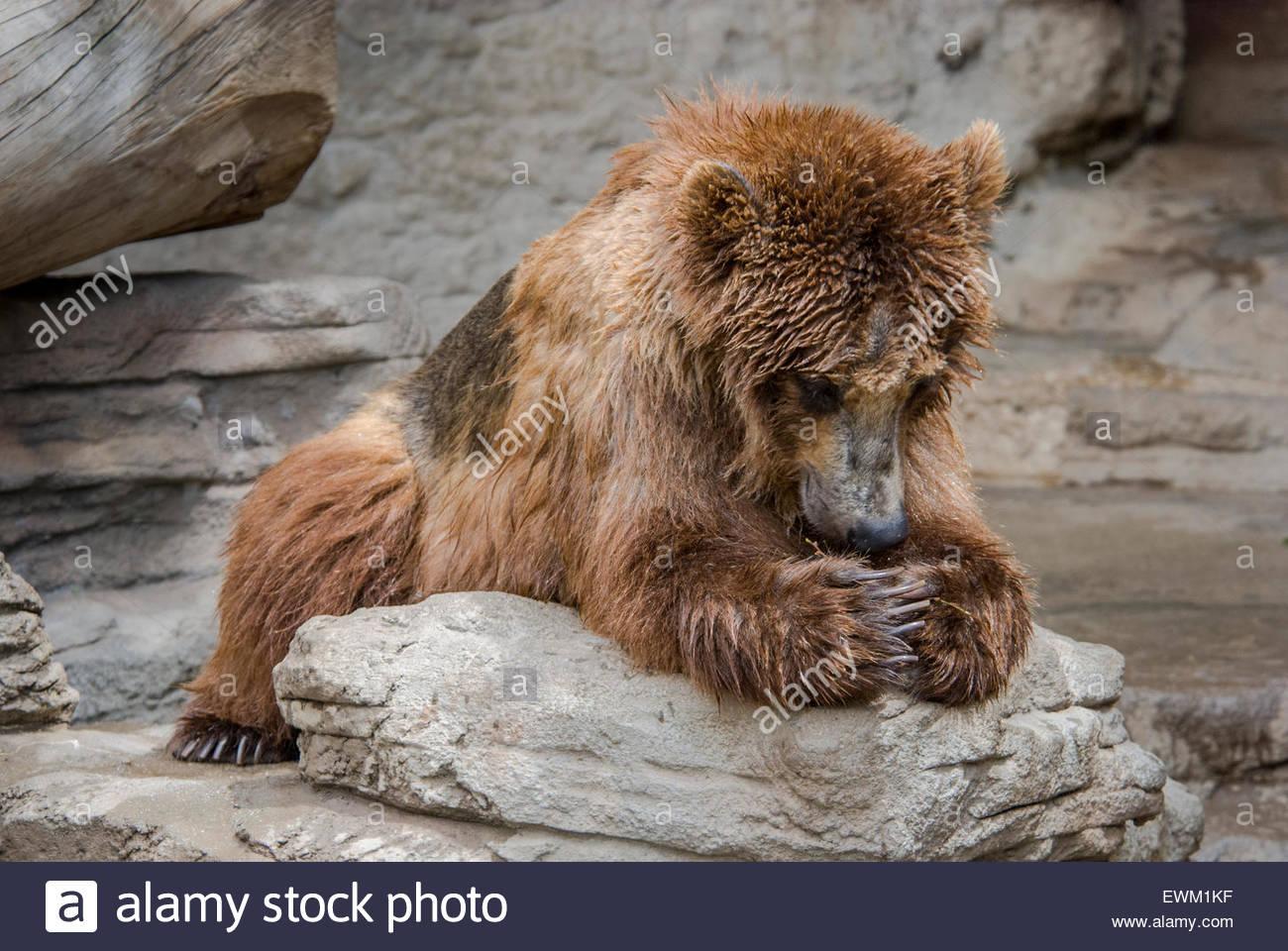 """Orso grizzly, Ursus arctos, chiamato """"Tundra"""" figurante a dire le sue preghiere presso lo Zoo di Denver, Immagini Stock"""