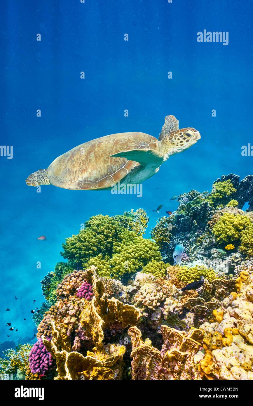 Marsa Alam - vista subacquea in mare la tartaruga e la barriera corallina, Mar Rosso, Egitto Immagini Stock