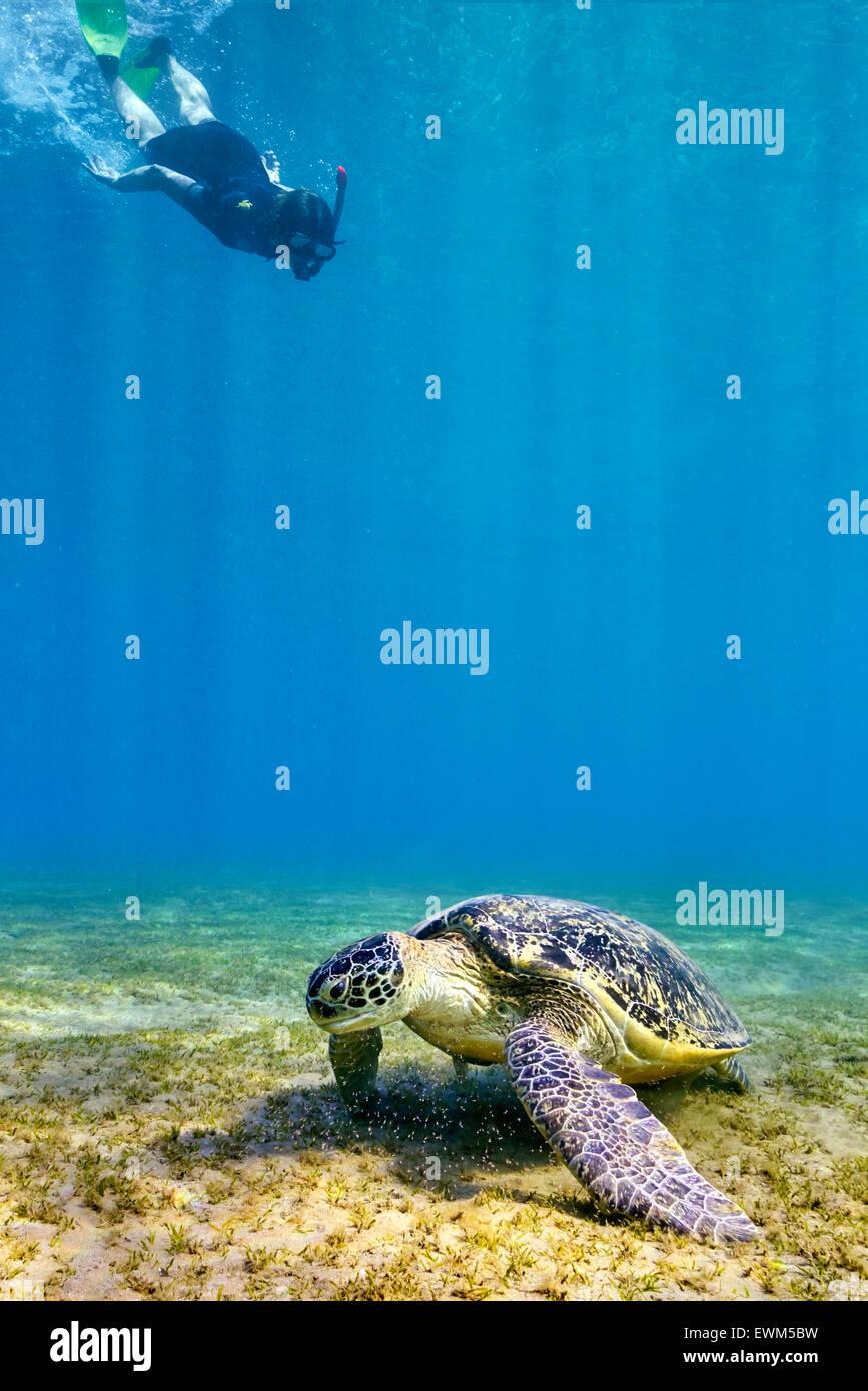 Donna snorkeling per la tartaruga marina, Marsa Alam, Mar Rosso, Egitto Immagini Stock