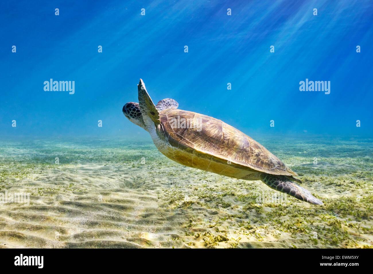Vista subacquea in mare la tartaruga, Marsa Alam, Mar Rosso, Egitto Immagini Stock
