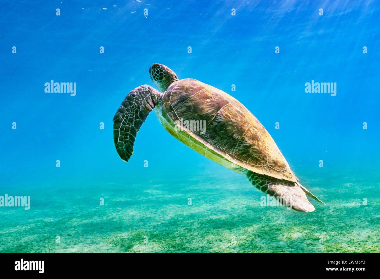 Marsa Alam, Mar Rosso, Egitto - vista subacquea a tartaruga di mare Immagini Stock