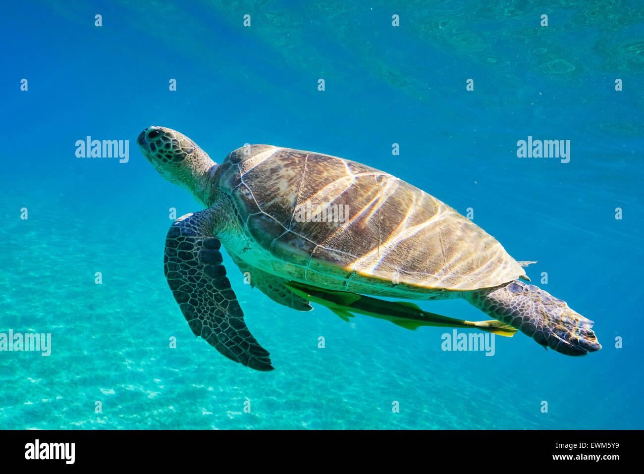 Vista subacquea in mare la Tartaruga, Mar Rosso, Egitto Immagini Stock