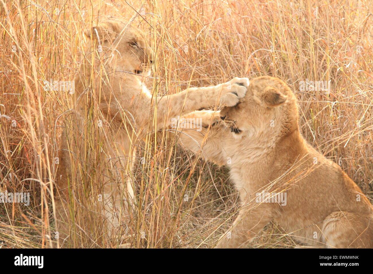 Lion Cubs giocare combattimenti, Sud Africa Immagini Stock